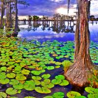 cypress tree swamp sunset landscape Art Prints & Posters by eszra tanner
