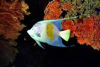 Arabian Angelfish, Very Deep