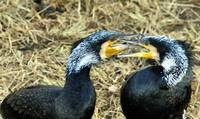 Cormorant Fighting