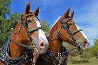 Draft Horse Team