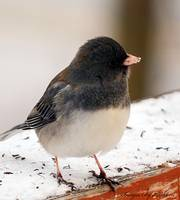Dark-eye Junco