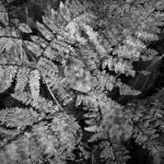 """Fern Leaves"" by Mun_Sing"