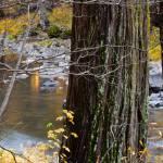 """""""Riverside Redwood"""" by Mun_Sing"""