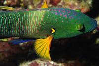 Broomtail Wrasse Portrait