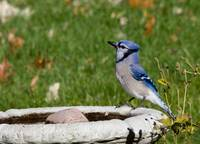 Blue Jay on bath