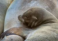 Sleeping Baby Sea Lion