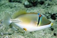 Red Sea Picasso Triggerfish on the Wall