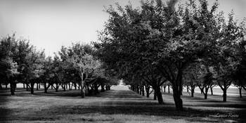 Grove in Black and White