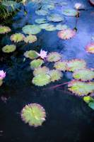 Water Lilies copy