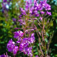 Midsummer Fireweed Art Prints & Posters by Alana McConnon