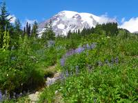 Mount Rainier Covered With A Field Of Wildflowers