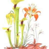 My Pitcher Plant Bog Art Prints & Posters by Kate Halpin