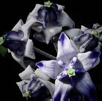 Blue Crownflower