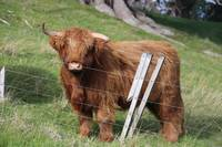 New Zealand Highland Cattle