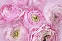 Pink Ranunculus flower arrangement