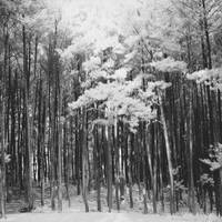 Pine Forest 1
