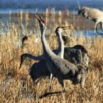 """Sandhill Cranes IMG_2825"" by rayjacque"