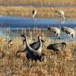 """Sandhill Cranes IMG_2828"" by rayjacque"