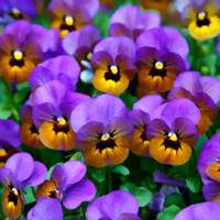 Little Purple Pansies Trimmed in Yellow Gold