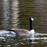 """Canadian Goose"" by LjTaft"
