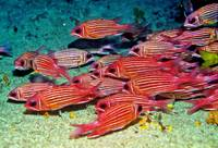 Soldierfish In Cave