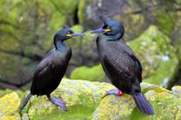 Two Shags Courting