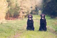 Chocolate Labrador Brothers