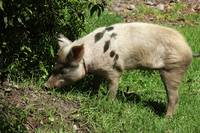 Pig in a Pasture