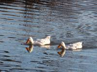 White Geese with Reflections