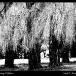 """WHISPERING WILLOWS"" by PhotographsByCarolFAustin"