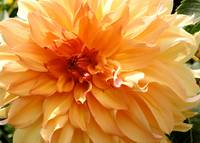 Radiating Orange Dahlia