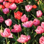 """Pink and Red Ruffly Tulips Square"" by Groecar"