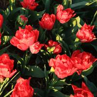 Red Ruffly Tulips Square
