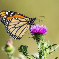 Monarch Butterfly Art Prints & Posters by Laura Frazier