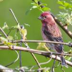 """Purple Finch"" by WildAboutNaturePhotography"