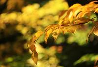 -Beech Leaves of Gold-