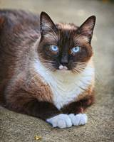 Siamese Cat Stare Down