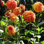 """Garden Dahlia"" by vpicks"