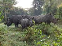 Family of Rhinos