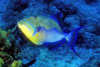 Blue Triggerfish On FILM