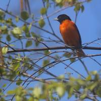 Baltimore Oriole with Blue Sky Square Format