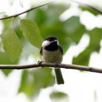 Chickadee in River Birch Art Prints & Posters by Karen Adams