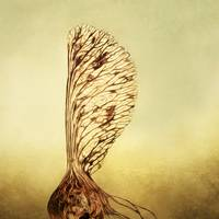 Sycamore Seed_