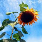"""Sunflower and Sky"" by susansartgallery"
