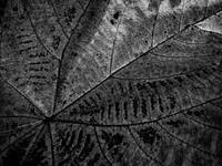 BROWN LEAF IN DETAIL, B&W, EDIT C