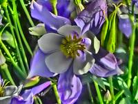 Vibrant Colorado columbine flower print