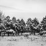 """Winter Pine Trees In Black and White"" by lightningman"