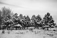 Winter Pine Trees In Black and White
