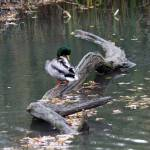 """""""Mallard ducks"""" by cameragal"""