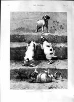 1888 William Strutt Fine Art Puppy Dogs Climbing S